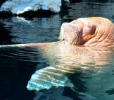 Walrus Lounging In The Waters At Sea World
