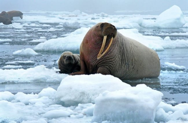 Mother Walrus and her baby