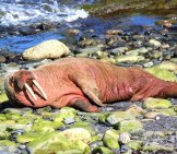 Walrus Basking In The Sun