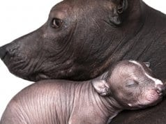 Xoloitzcuintle mom and babyPhoto by: (c) alkir www.fotosearch.com