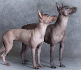 Stunning Xoloitzcuintle Dogs Posing For A Portrait Photo By: (C) Alkir Www.fotosearch.com