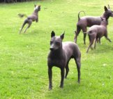 Xoloitzcuintles Playing In The Park Photo By: Christina Cantrill //creativecommons.org/licenses/by-Sa/2.0/