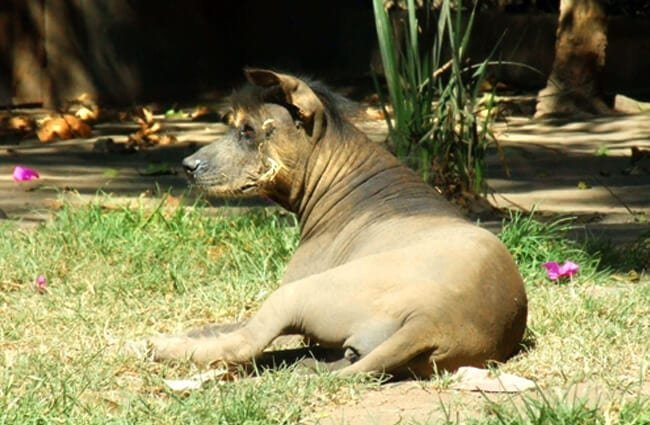 Mature Xoloitzcuintle resting in the shade Photo by: Travis //creativecommons.org/licenses/by-sa/2.0/