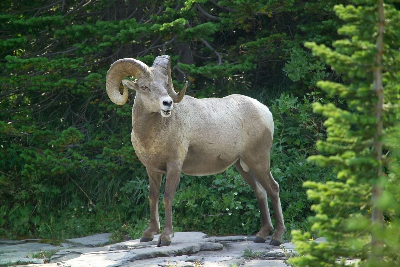 //pixabay.com/en/big-horn-sheep-ram-wildlife-male-911603/