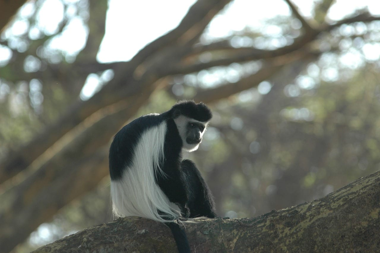 https://pixabay.com/photos/colobus-monkey-africa-colobus-2548308/