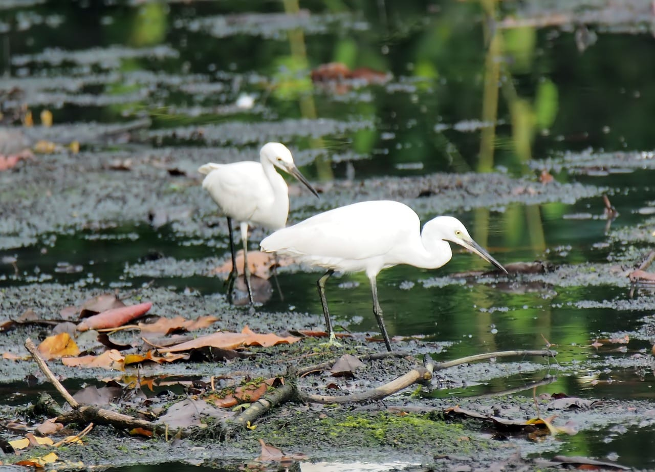 https://pixabay.com/photos/egret-wild-wildlife-bird-migratory-3697407/