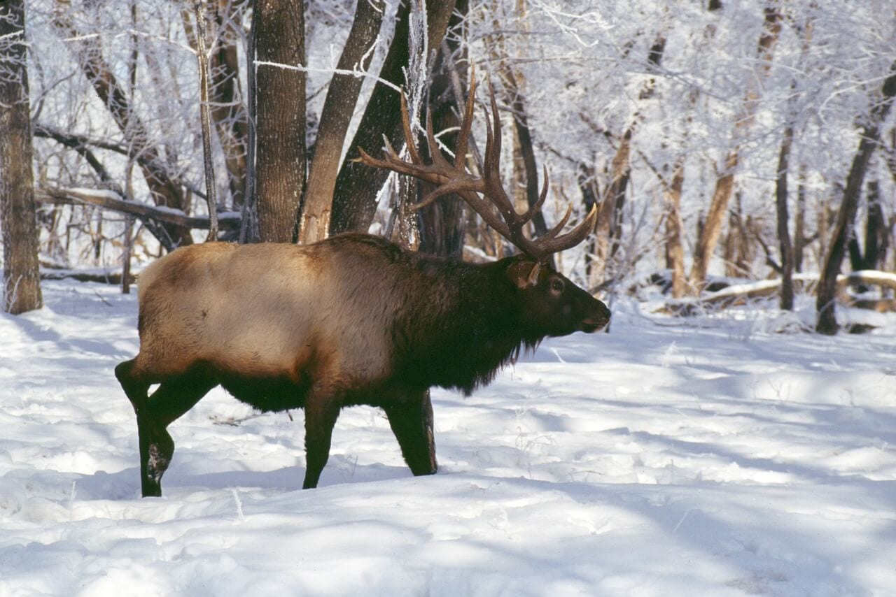 https://pixabay.com/en/elk-hooved-animals-rut-2641971/