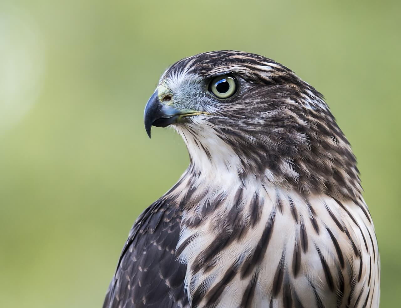 https://pixabay.com/en/hawk-bird-profile-nature-cooper-s-2714674/