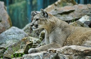 //pixabay.com/en/lion-puma-wildlife-animal-nature-3451327/