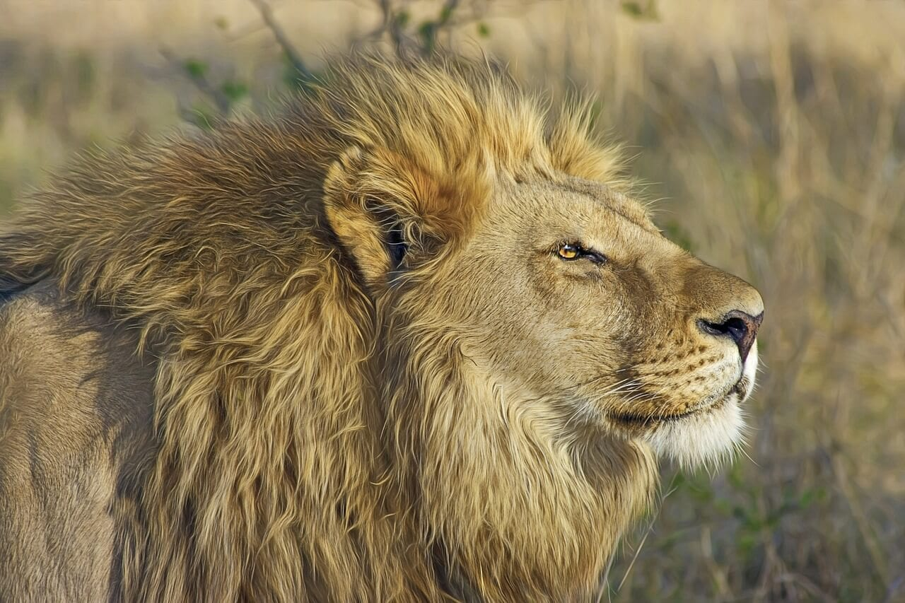 https://pixabay.com/en/lion-big-cat-predator-safari-515028/