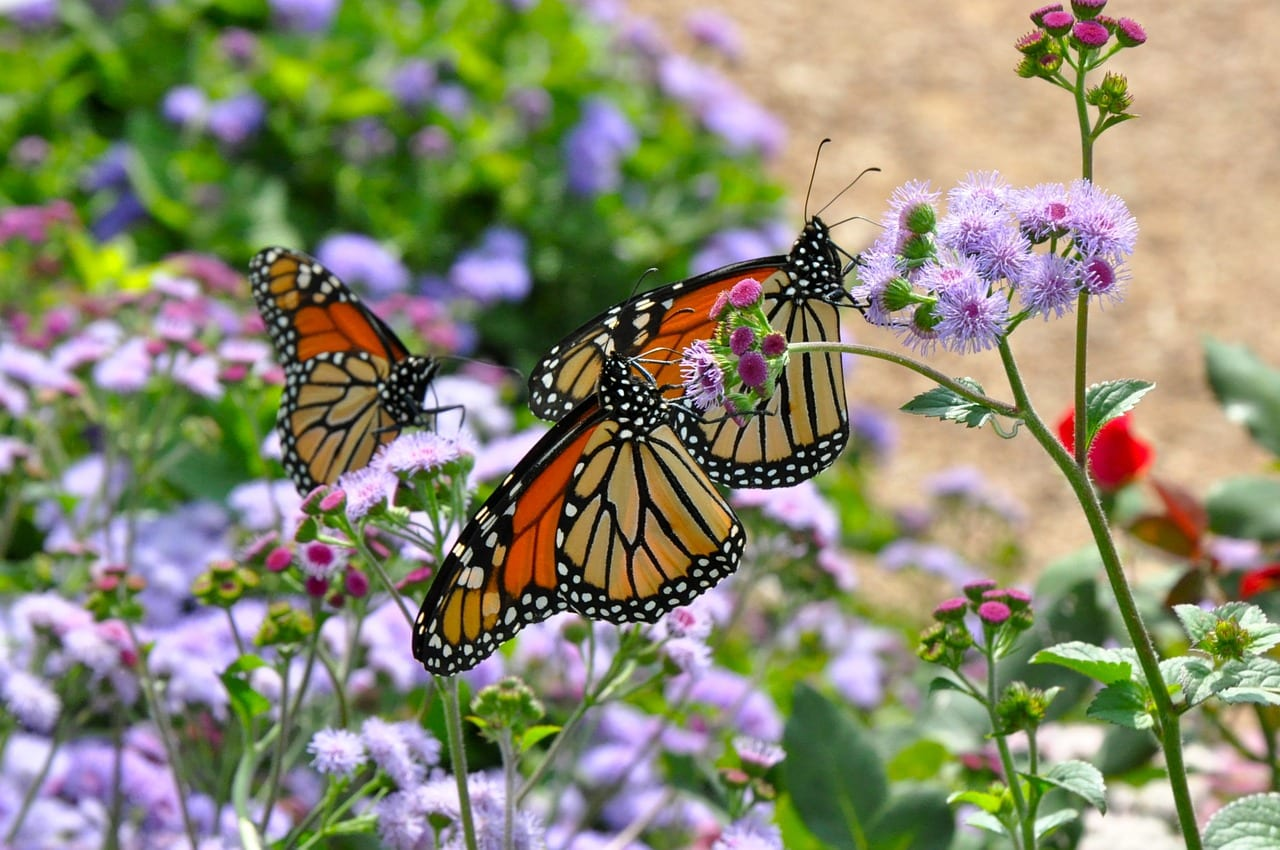 https://pixabay.com/photos/monarch-monarch-butterfly-butterfly-1243382/