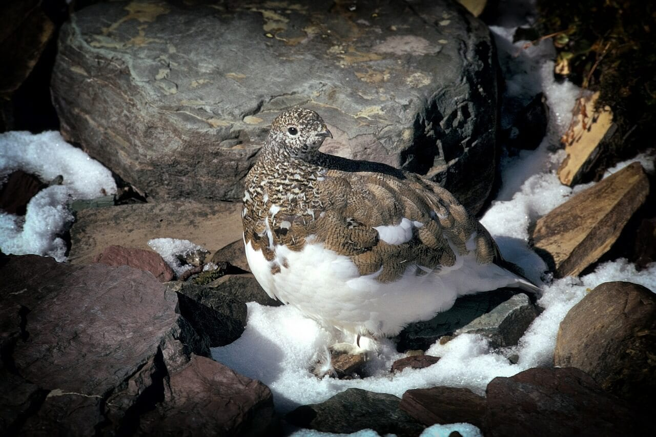 https://pixabay.com/en/ptarmigan-bird-montana-rocks-142170/