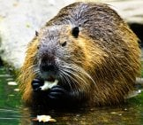 Closeup Of A Beaver Eating His Lunch