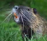 Closeup Of A Beaver - Notice His Long, Orange Teeth