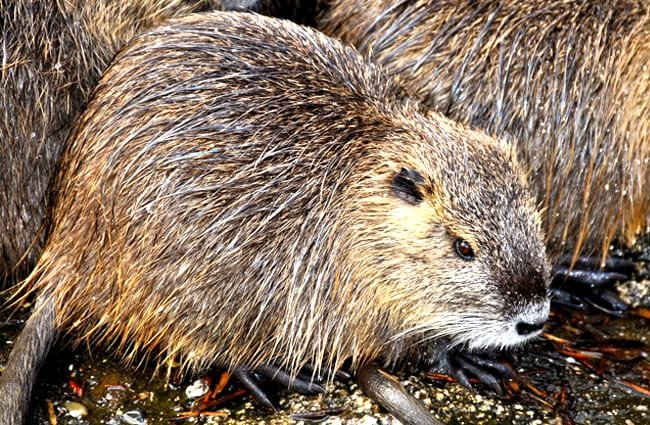 A family of Beavers