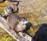 A Pair Of Beavers Crossing On A Log
