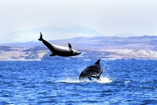Black Dolphins near Isla Choros, Norte ChilePhoto by: Elias Rovielohttps://creativecommons.org/licenses/by-nc-sa/2.0/