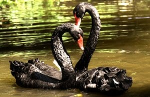 A pair of Black Swans on the river