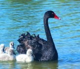 A Mother Black Swan Guiding Her Babies (Called Cygnets)