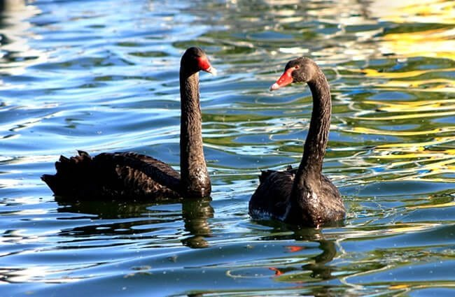 A pair of Black Swans on the afternoon waters