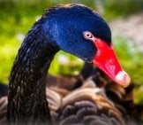 Closeup Of The Beautiful Black Swan