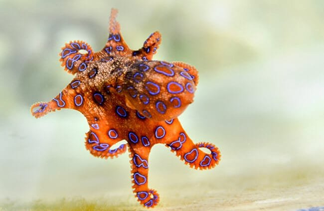 Blue Ringed Octopus in a small aquarium