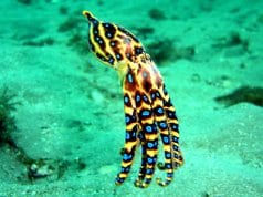 Blue Ringed Octopus in the clear waters off AustraliaPhoto by: Saspotatohttps://creativecommons.org/licenses/by-nc-sa/2.0/