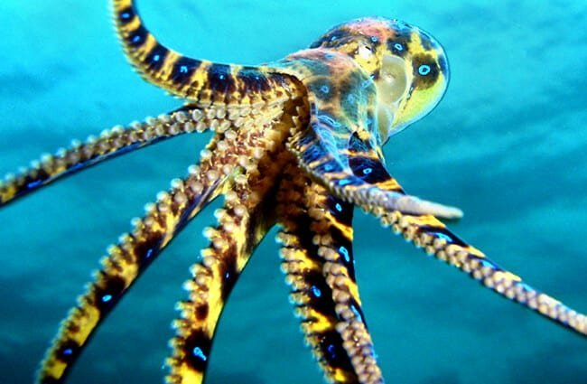 Beautiful Blue Ringed Octopus - notice the suckers on the underside of its tentacles. Photo by: Saspotato https://creativecommons.org/licenses/by-nc-sa/2.0/