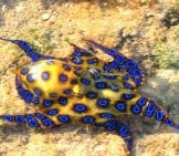 Blue Ringed Octopus Flashing Yellow At A Diver Photo By: David Humphreys, Wildlife Habitat Council Https://creativecommons.org/licenses/by-Nc-Sa/2.0/