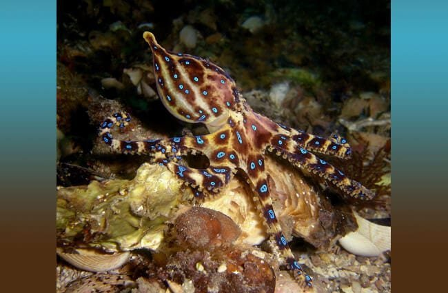 Blue Ringed Octopus off the coast of Victoria Australia Photo by: Saspotato https://creativecommons.org/licenses/by-nc-sa/2.0/