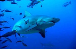 Bull Shark surrounded by smaller fishPhoto by: Daniele Colombohttps://creativecommons.org/licenses/by-nc-sa/2.0/