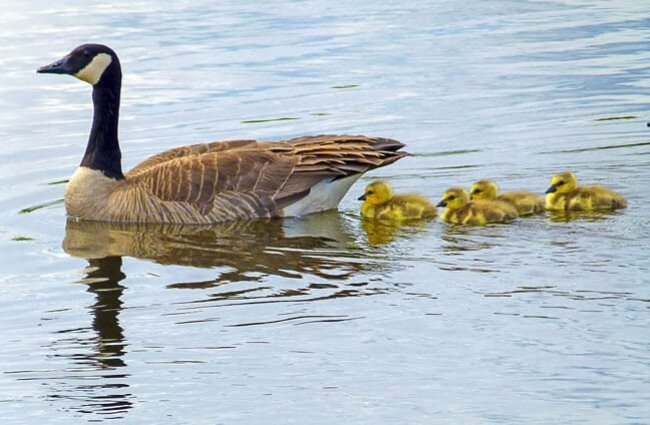 Canada Goose goslings following their mom.