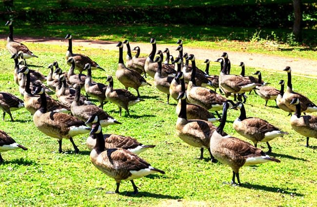 Canada Geese in an urban park. Canada Goose.