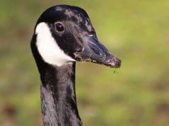 Closeup of a Canada Goose.