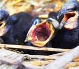 Baby Cormorant Chicks Demanding Breakfast! Photo By: (C) Max5128 Www.fotosearch.com