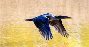 Beautiful Cormorant flying low over the water