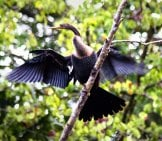 Cormorant Balanced On A Tree Limb
