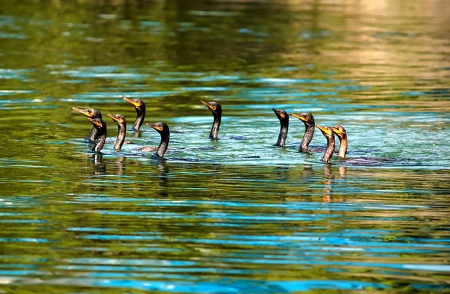 Cormorant swim party!