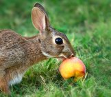 Cottontail Bunny Rabbit Eating Peach Photo By: (C) Leekrob Www.fotosearch.com