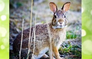 A beautiful Cottontail pausing for a photoPhoto by: Steve Bremer//creativecommons.org/licenses/by/2.0/