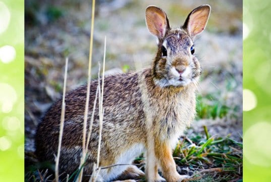 A beautiful Cottontail pausing for a photoPhoto by: Steve Bremerhttps://creativecommons.org/licenses/by/2.0/