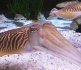 Cuttlefish Swimming In Clear Waters