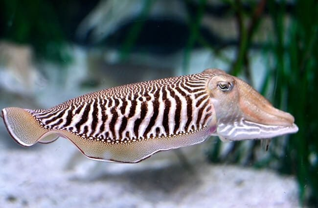 Closeup of a Cuttlefish