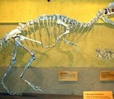 Skeleton Of Dilophosaurus From The Royal Tyrrell Museum Of Paleontology, Alberta Canada Photo By: Emily Willoughby Cc By-Sa 3.0 //creativecommons.org/licenses/by-Sa/3.0