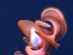 Rarely seen Dumbo OctopusPhoto by: NOAA Photo Libraryhttps://creativecommons.org/licenses/by/2.0/