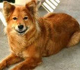 Finnish Spitz - Happy Dog! Photo By: Noël Zia Lee Https://creativecommons.org/licenses/by/2.0/