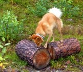 Finnish Spitz Hunting Prey In A Log Photo By: Mikael Hillerström Https://creativecommons.org/licenses/by/2.0/