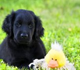 Portrait Of A Beautiful Flat-Coated Retriever Puppy