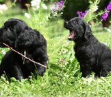 Flat-Coated Retriever Puppies Lazing In The Yard Photo By: (C) Zuzule Www.fotosearch.com