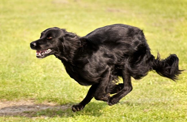 Flat-Coated Retriever racing across a meadow Photo by: (c) 3quarks www.fotosearch.com